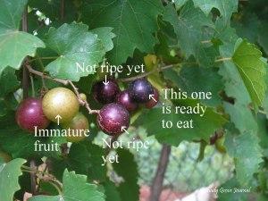 Eh...pluck a grape...